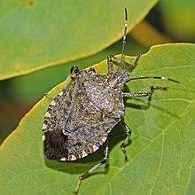 220px-Pentatomidae_-_Halyomorpha_halys-001